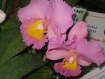 Cattleya - Dal's dream - Lucky 099