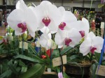 Phalaenopsis - Glad lips 107